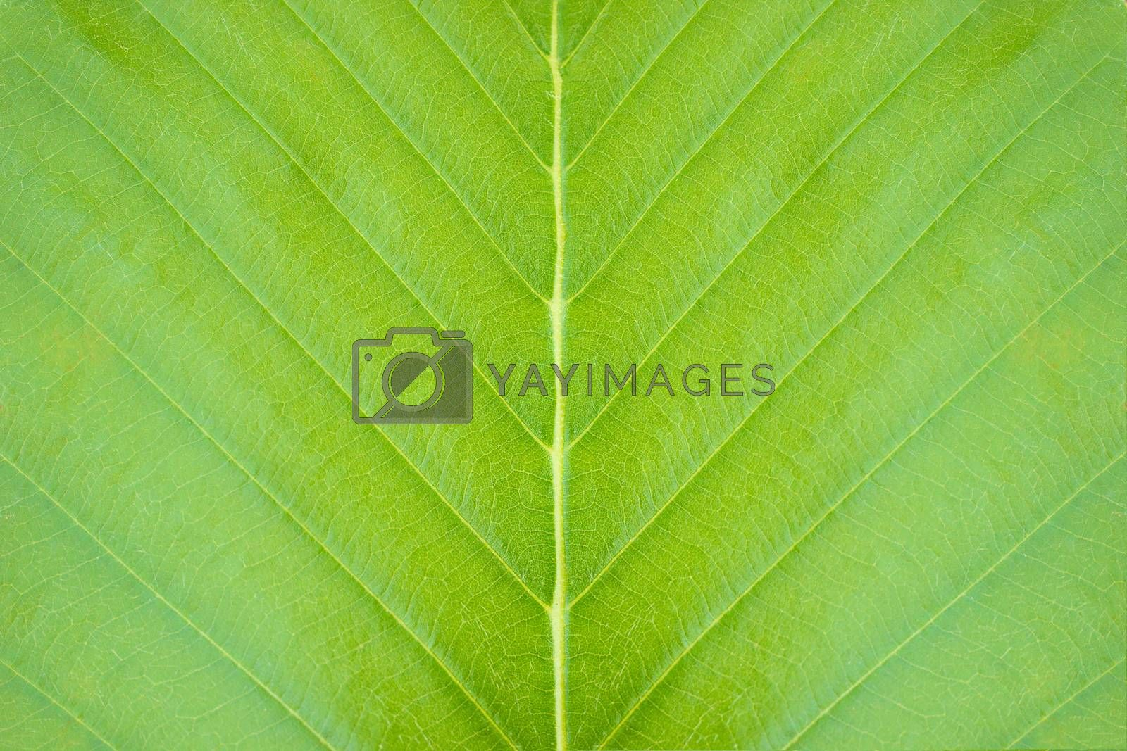 Closeup green leaf texture background in tropical forest. Concept of nature conservation and global warming.