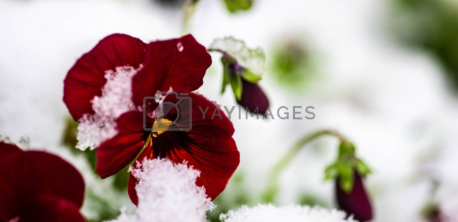 Beautiful tricolor viola flowers ina spring time garden with snow and water drops
