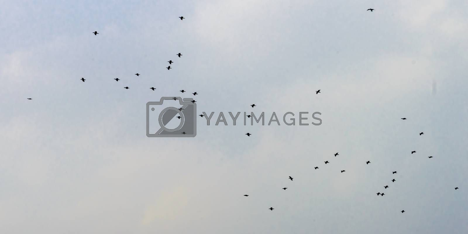Flock of tropical migratory birds flying in the sky in a messy formation. Animal migration. Abstract natural pattern background. Silhouette. Photography in evening time sunset sunlight.