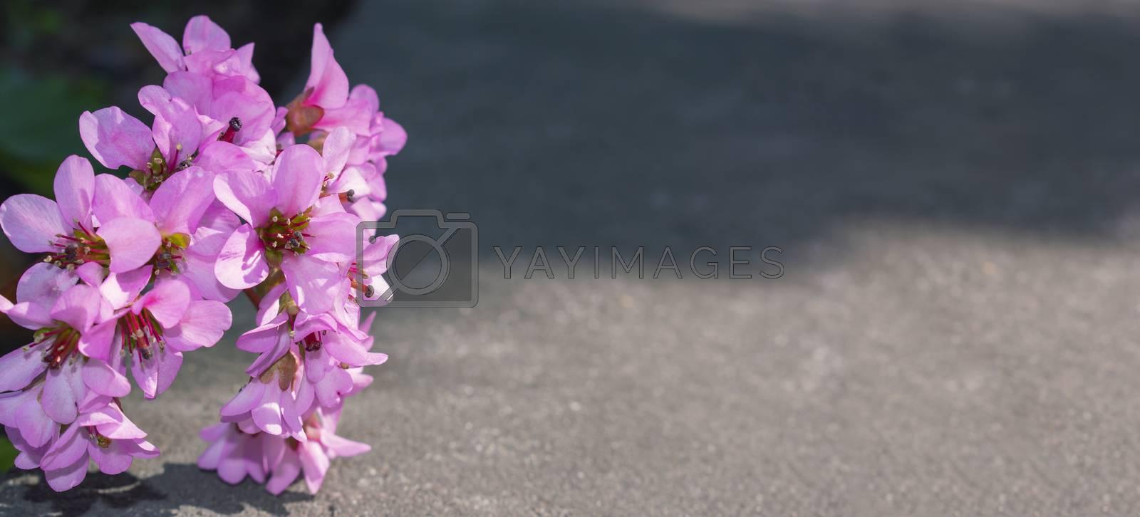 Elegant floral background. Pink flower over concrete. Bergenia crassifolia at spring.