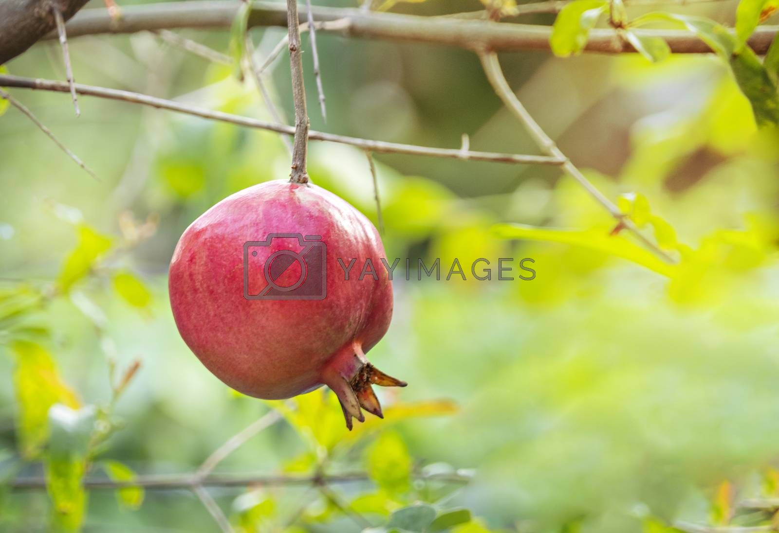 Pomegranate Fruit on Tree Branch. The Foliage on the Background