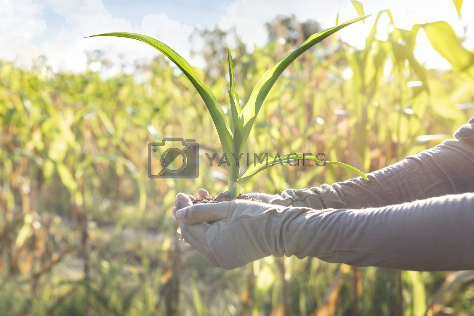 close up hands holding young corn for planting in garden with sunlight background