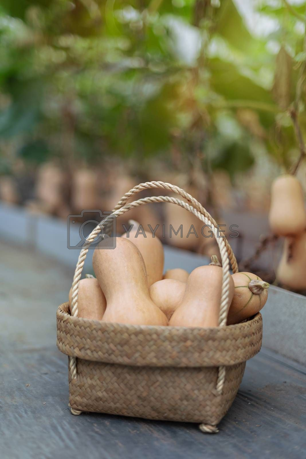 Royalty free image of butternut squash in bamboo basket by rakratchada