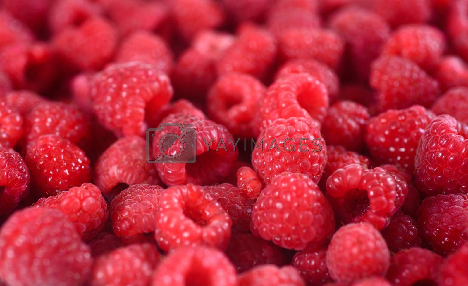 Fresh raspberries background closeup. Ripe Delicious berries. Healthy food organic concept.