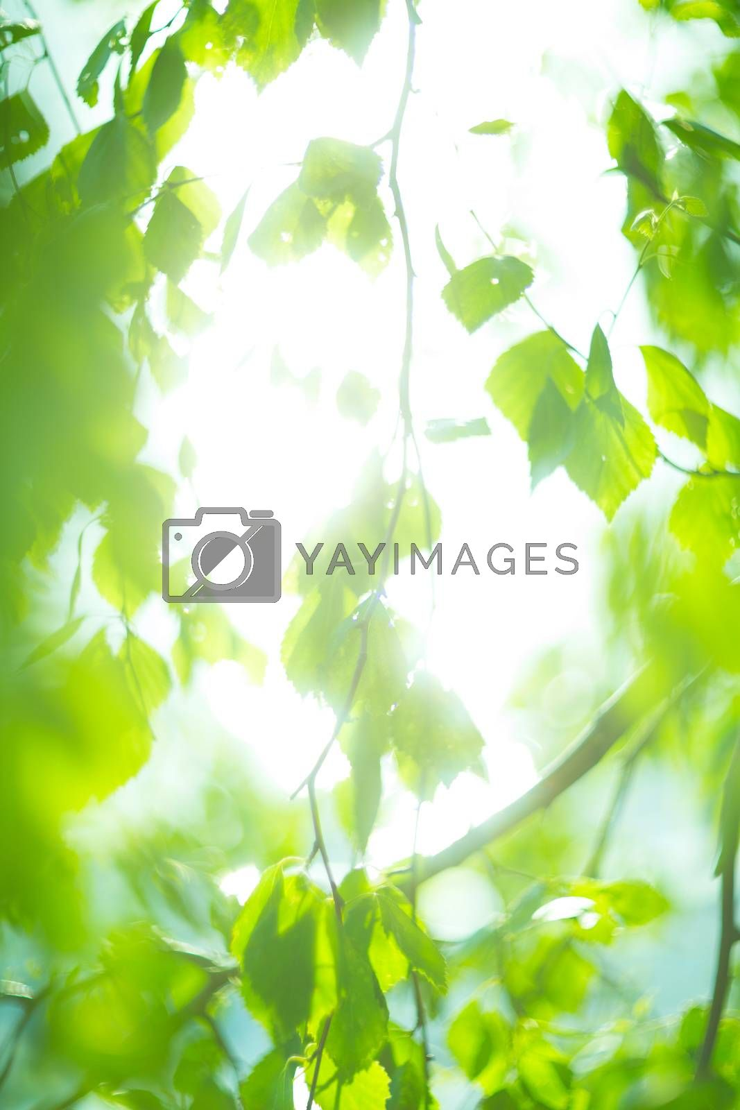Green birch leaves natural spring background at sunny day