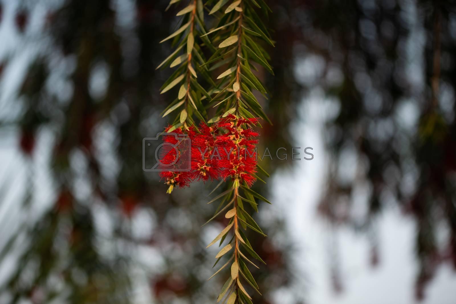 Royalty free image of Flower Callistemon on background bokeh, Bottlebrushes by shaadjutt36