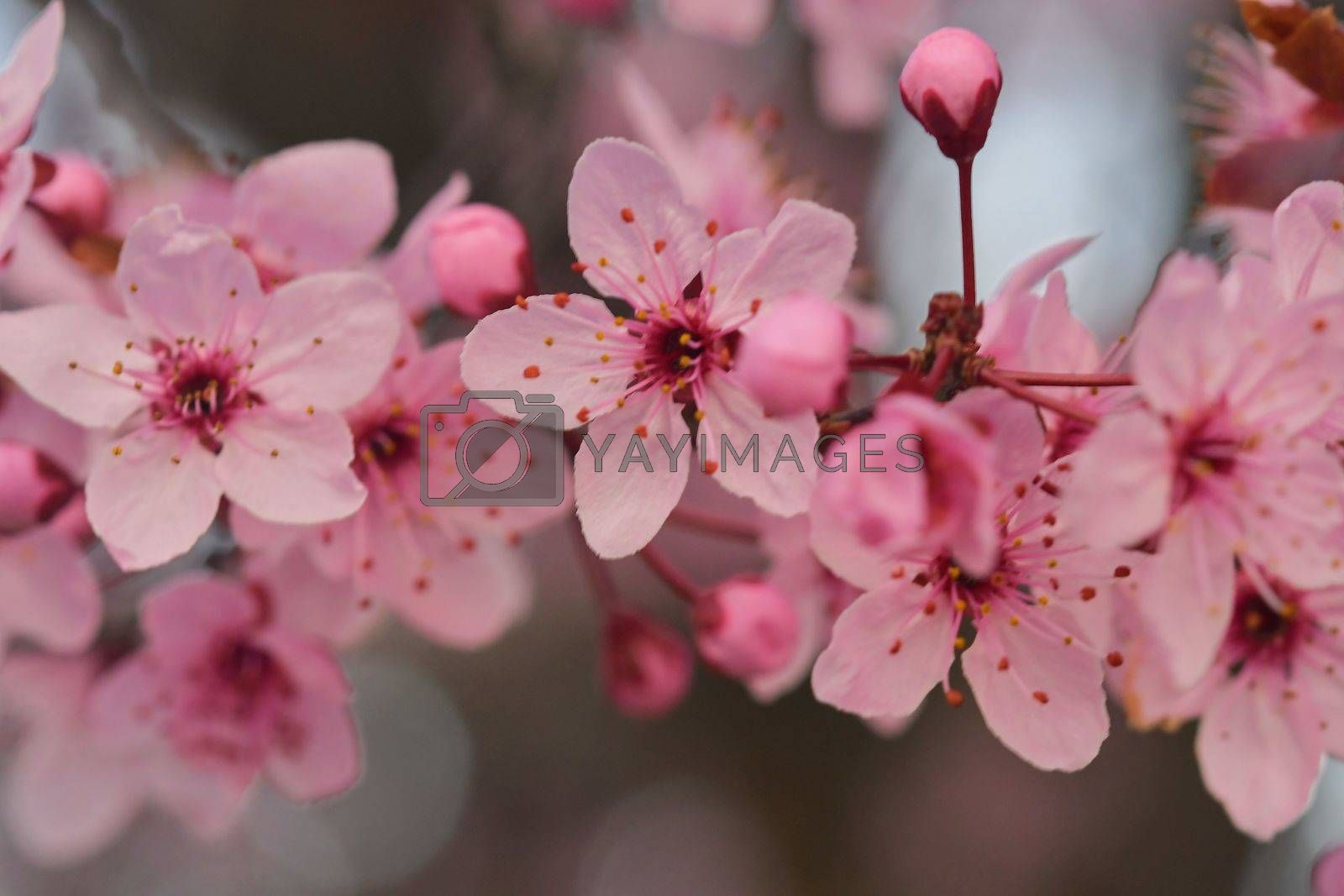 Royalty free image of Close-up image of the blossom on a Prunus serrulata, flowering cherry tree. Spring time. by roman_nerud
