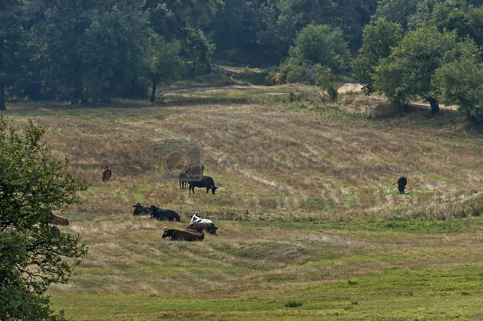 Herd of black, brown and white cows at autumn field, Sredna Gora, Mountain, Bulgaria