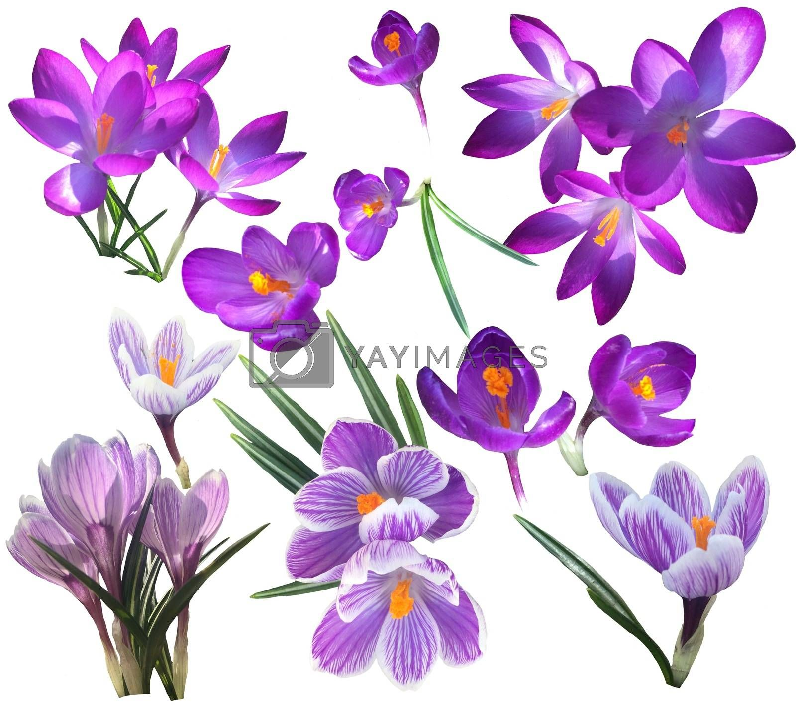 Collection of Violet and lilac crocus flowers isolated on white background