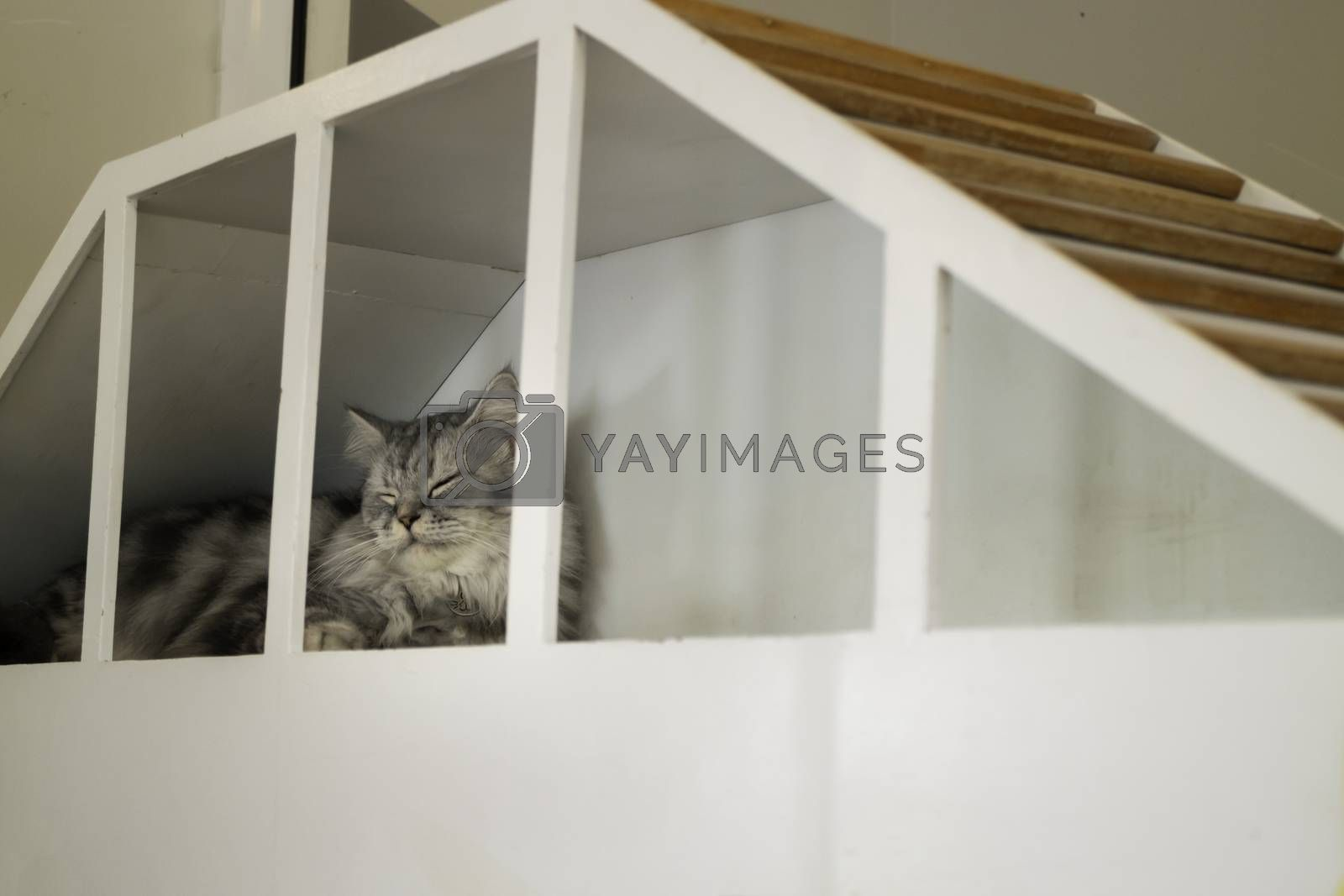 Royalty free image of Domestic cat chilled in coffee shop by nalinratphi