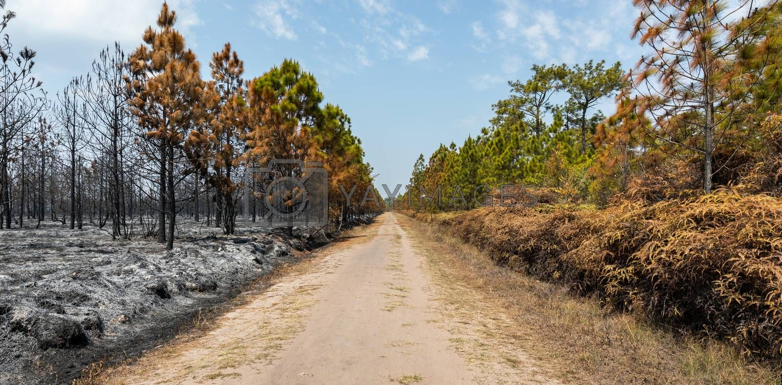 Landscape of walkway in middle of trees and bushes burned by wildfire in tropical rainforest of Phu Kradueng national park, Loei, Thailand.