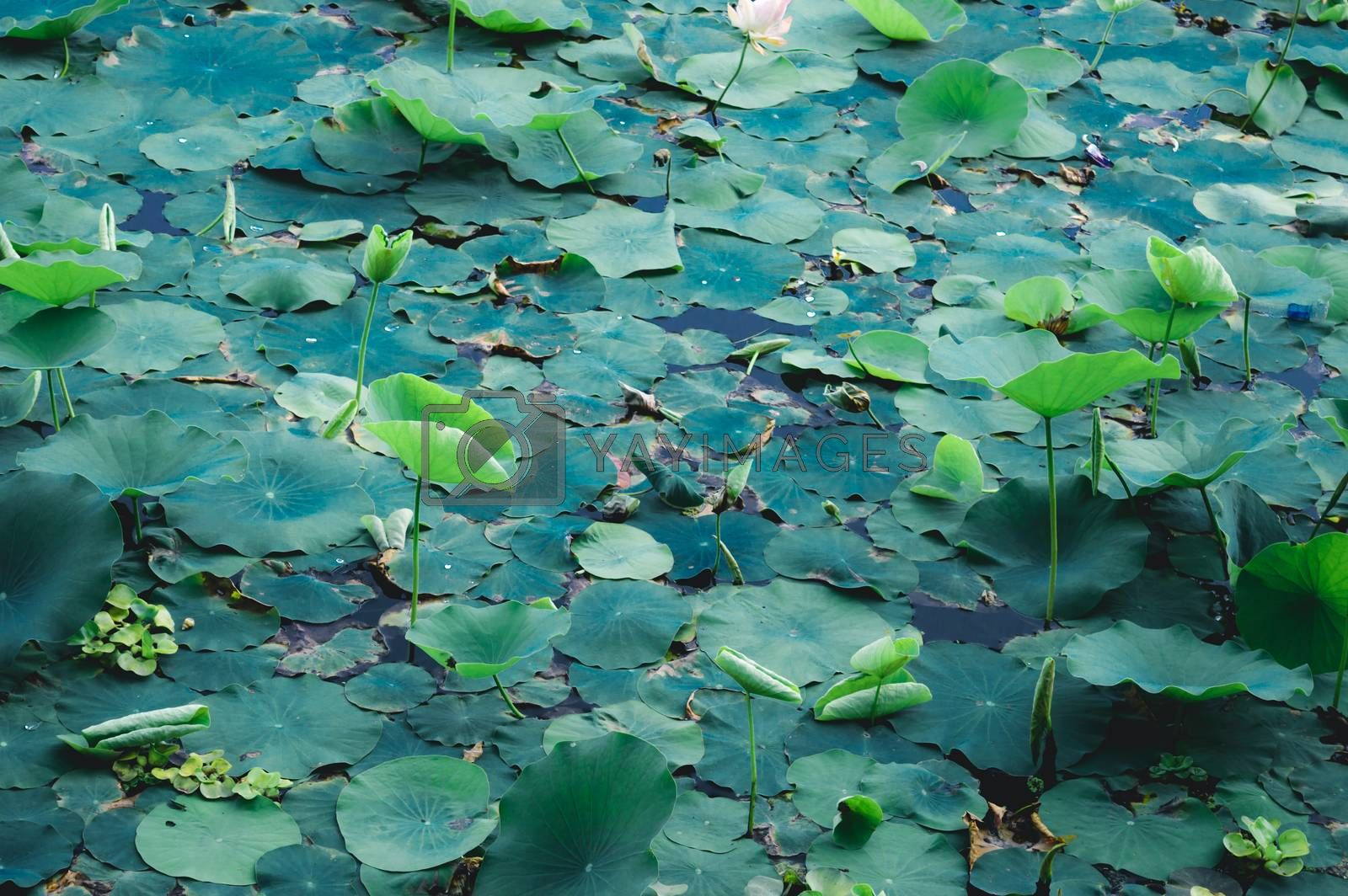 Green lotus water lily flower on pond water surface level in a wetland. Variegated foliage aquatic plant organism. Spirituality meditating peace spirituality symbol. tranquility background decoration