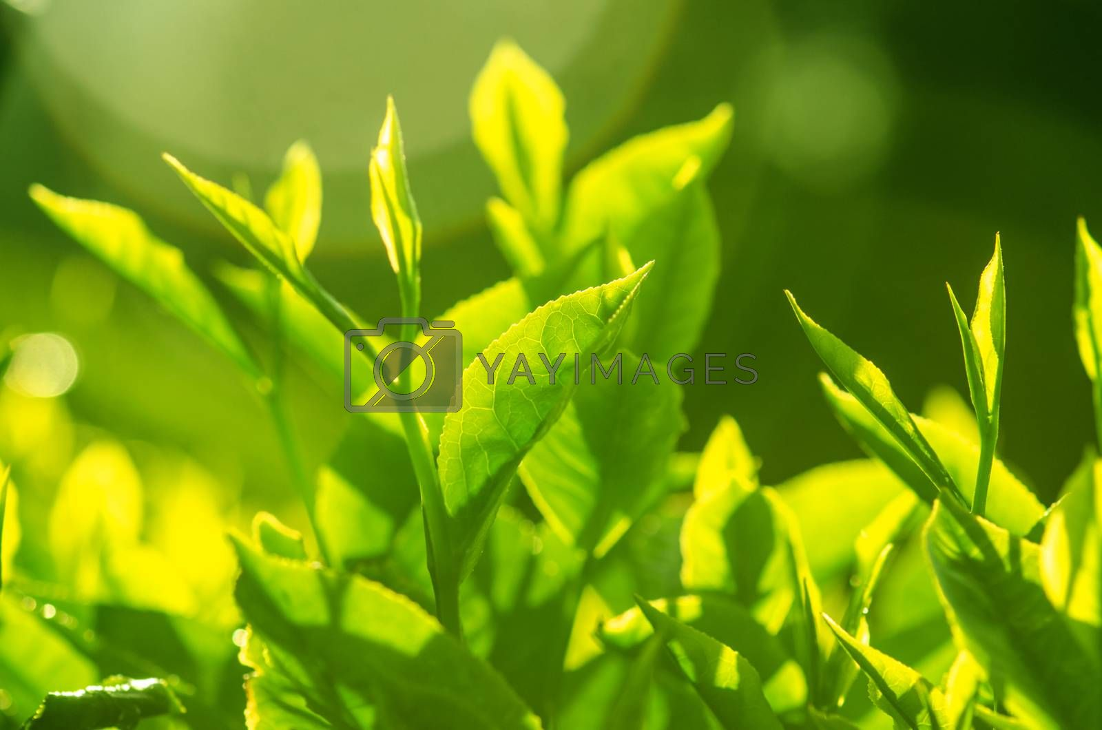 Tea leaf with plantation at the background, morning view.