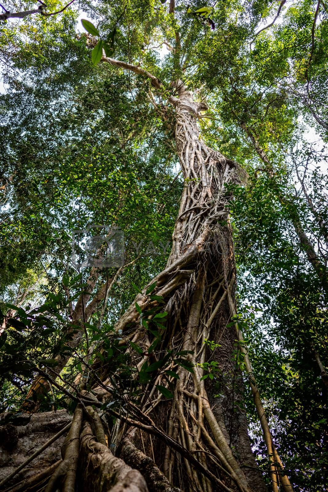 Big old tree trunk inside deep tropical rainforest covered by vine and climber in Khao Yai national park, Thailand.
