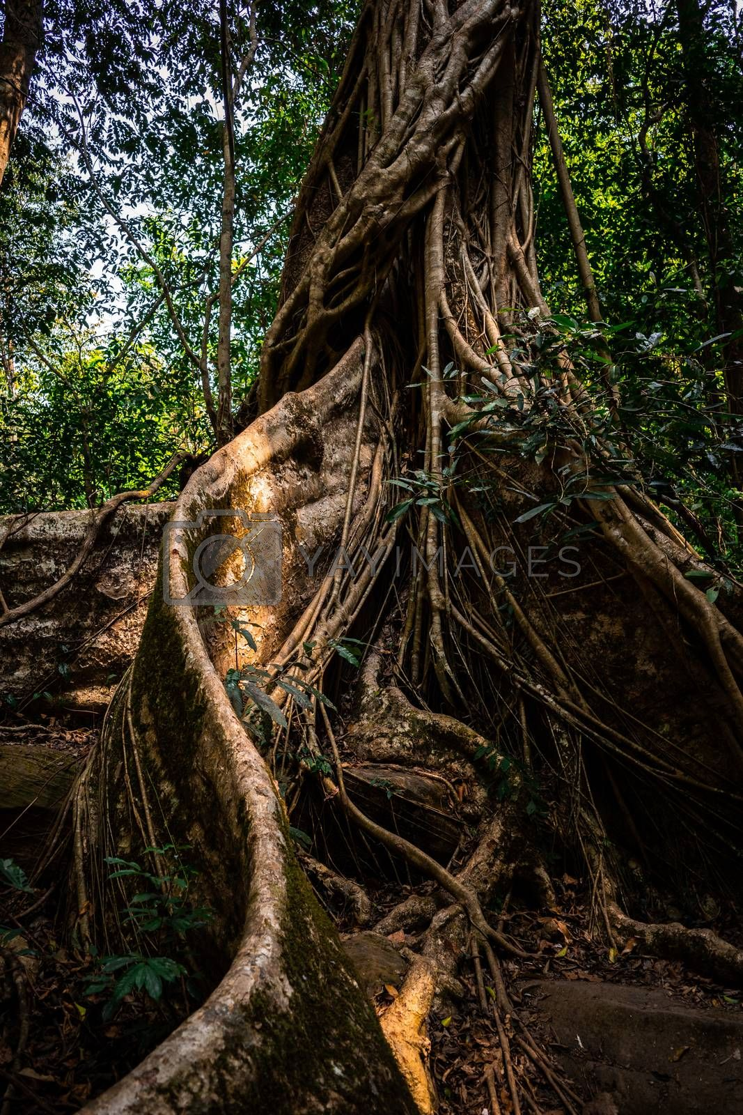 Half body of big old tree trunk inside deep tropical rainforest covered by vine, climber and big root appear from ground, Khao Yai national park, Thailand.