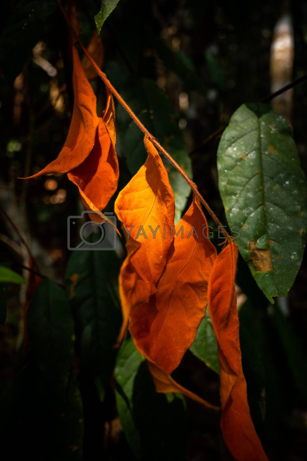 Close focus on saturated orange leaves touching sunlight on dark background inside tropical rainforest.