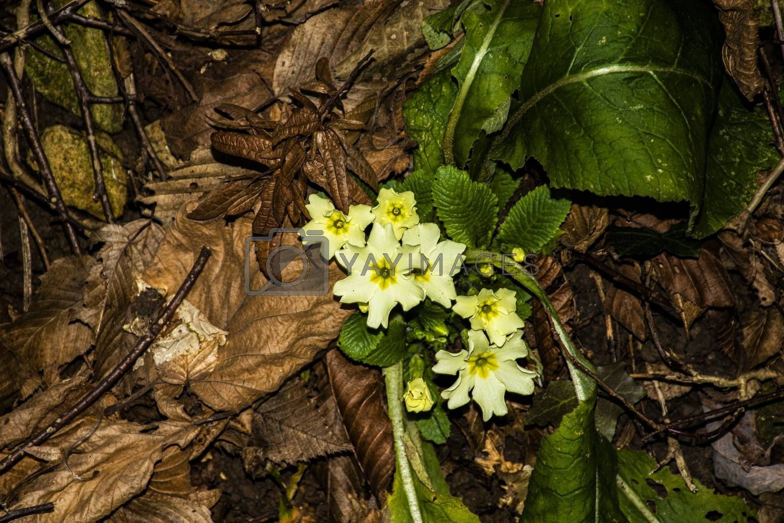 close-up of yellow primroses on the mantle of brown leaves of the undergrowth in the Vicenza hills