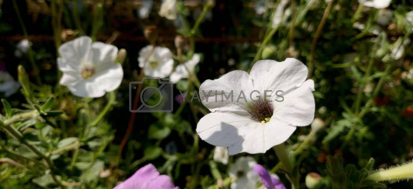 White flower in sunlight in the summer season in India
