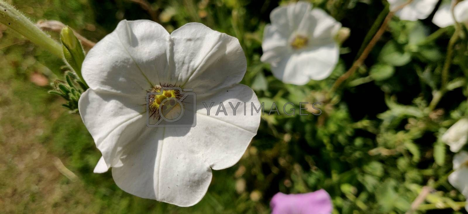 White petunia basking in the sun on a summer in India