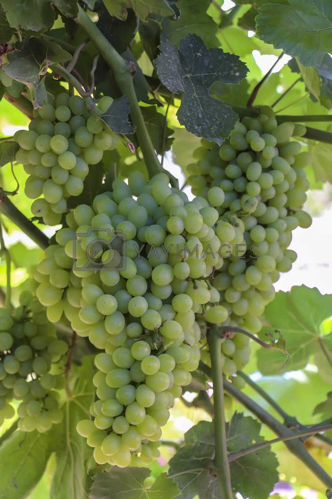 Unripe grapes hanging from the trellises on Qingnian Lu, Turpan, Xinjiang