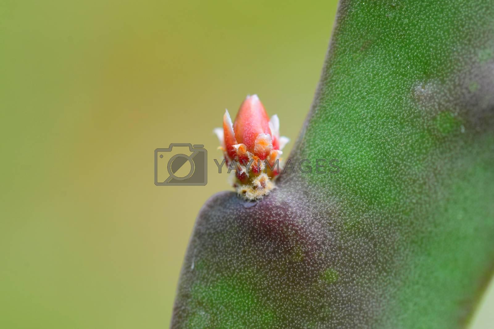 opuntia plant cactus bud close detail outdoors