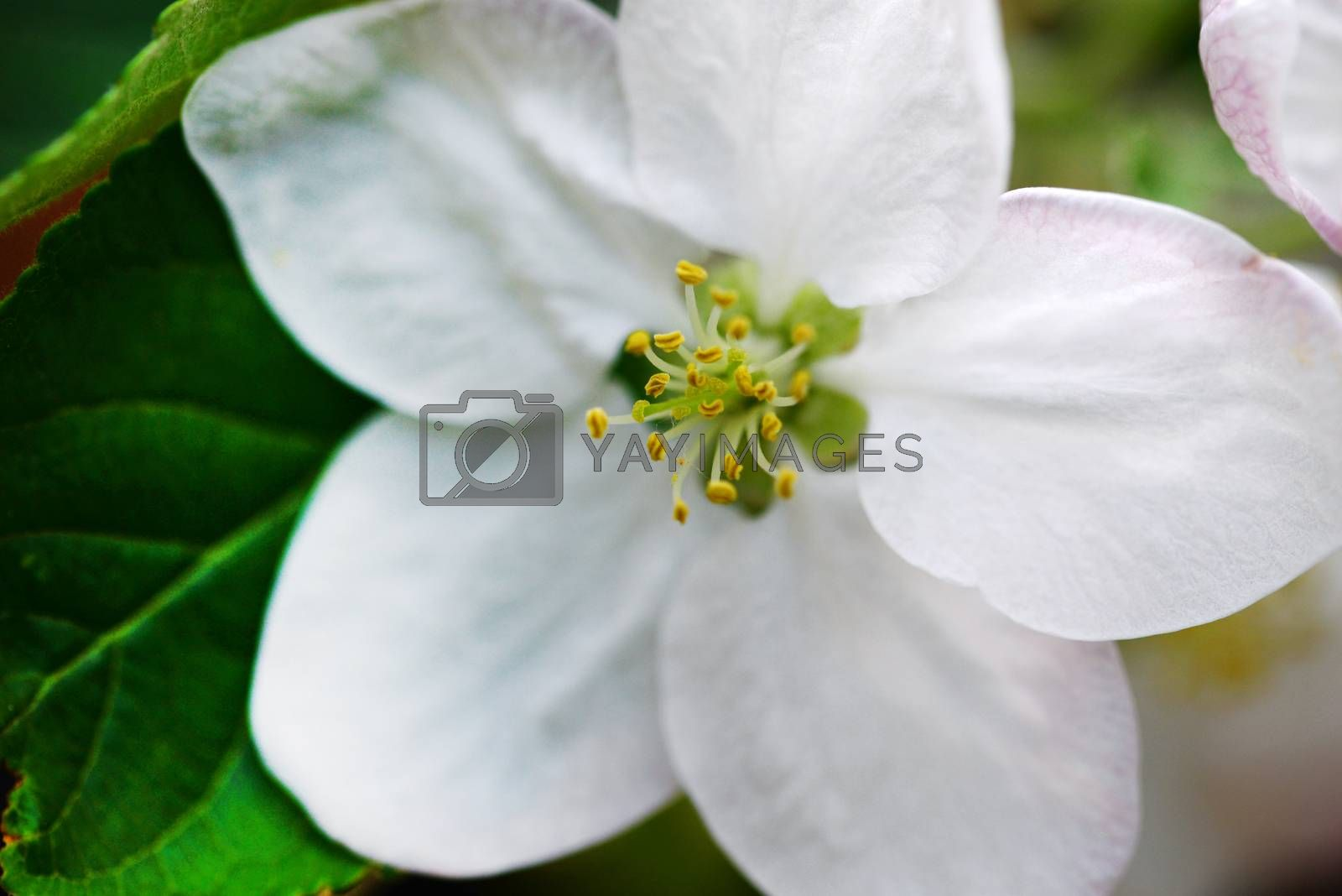 apple tree white flower close detail outdoors