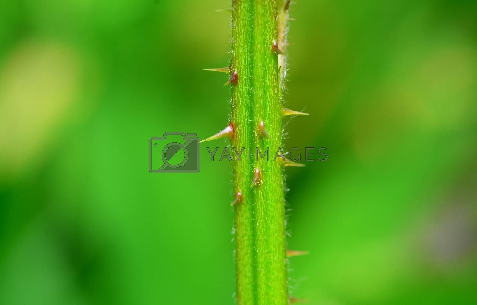 blackberry stem thorns macro detail nature background