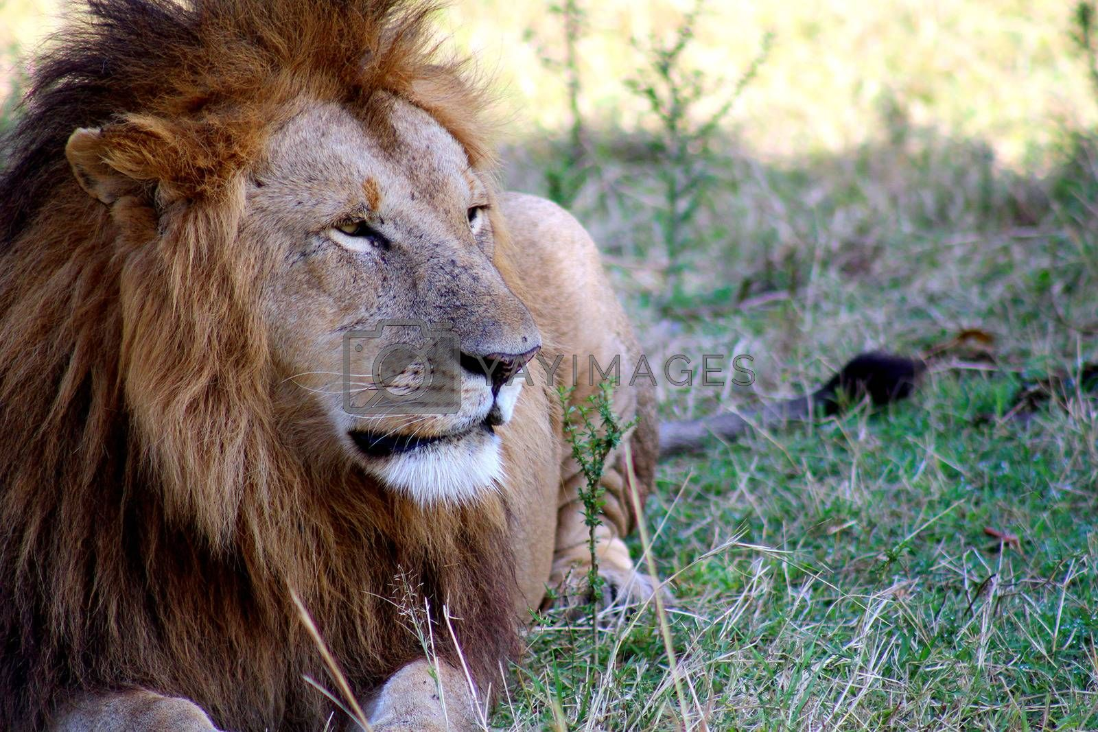 Lion lying on the savanna. Lion of the Massai Mara Park, Kenya (Africa)