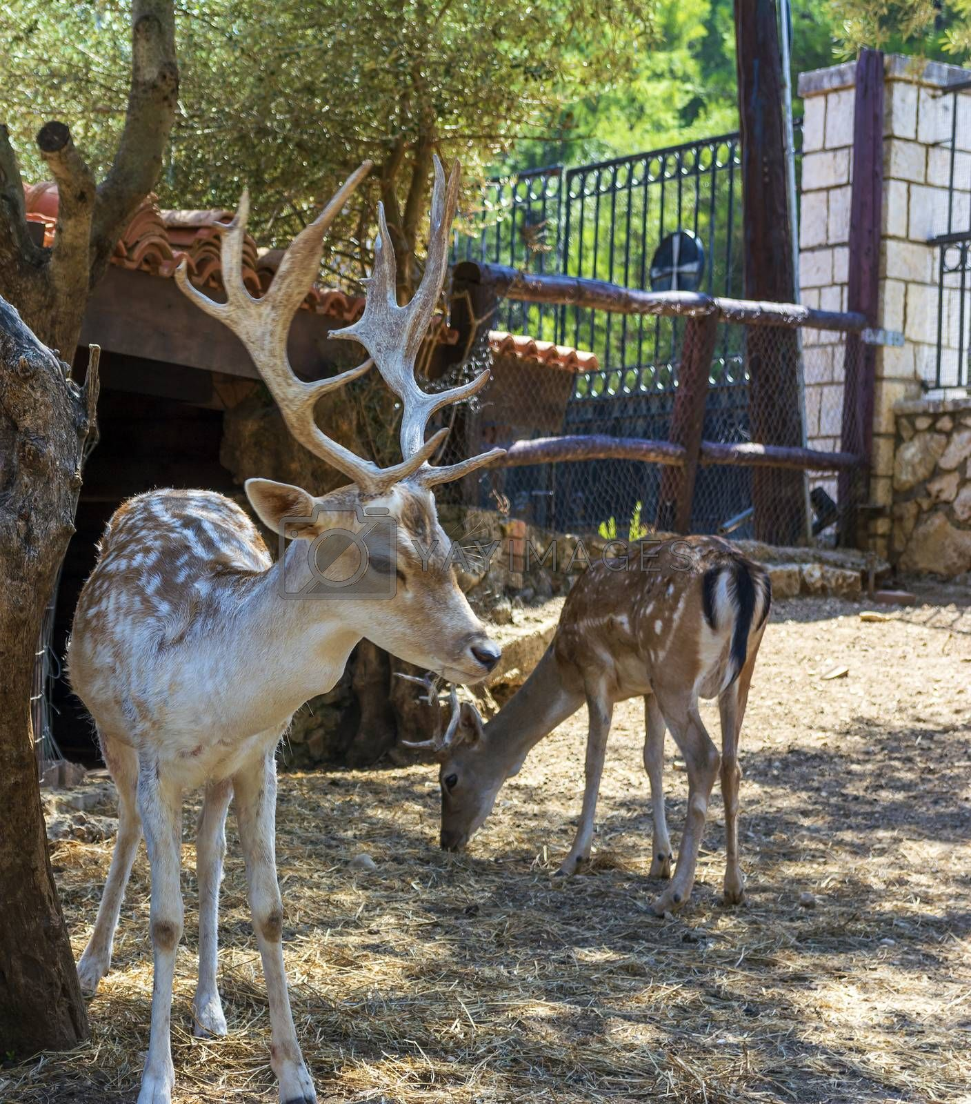 Deer placed in Captivity in a park zoo on a sunny day in Greece.