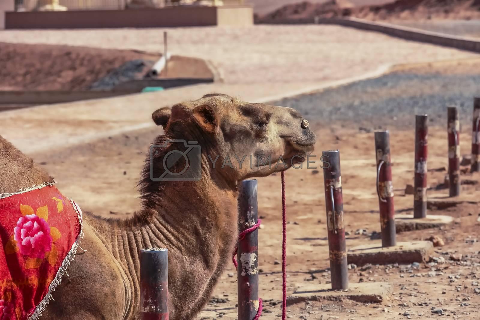 Northern Xinjiang Bactrian Camel at the Flaming Mountains in Turpan, China