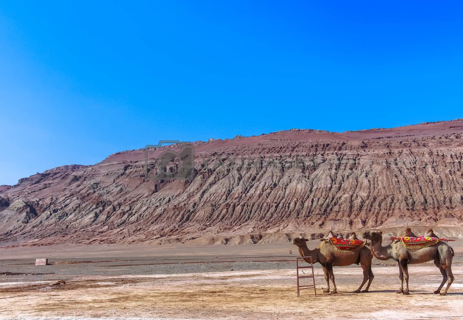 Bactrian Camels were the principal means of transportation for the historic Silk Road, now serving transportation for tourist