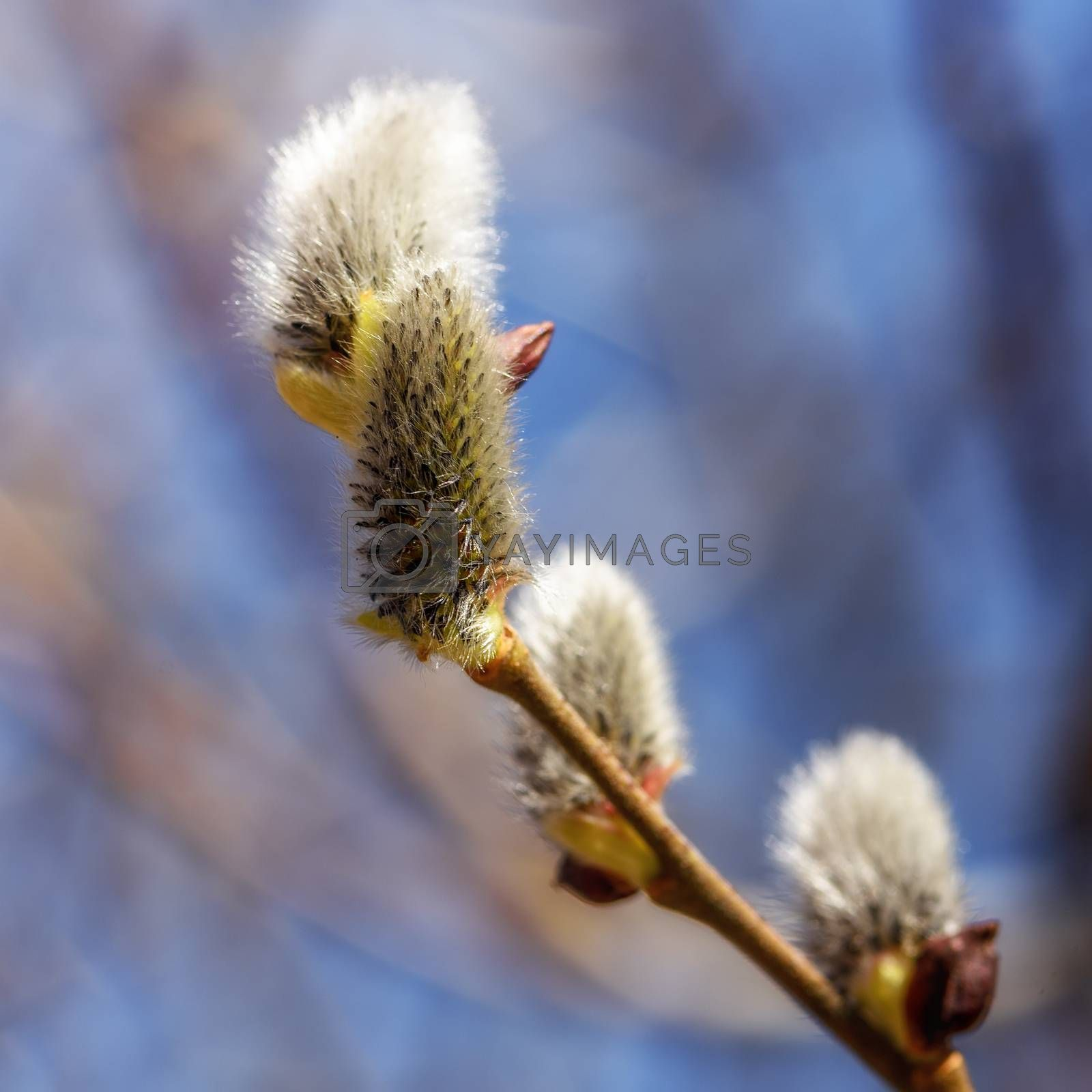 Flowering willow buds on a branch close up in early spring