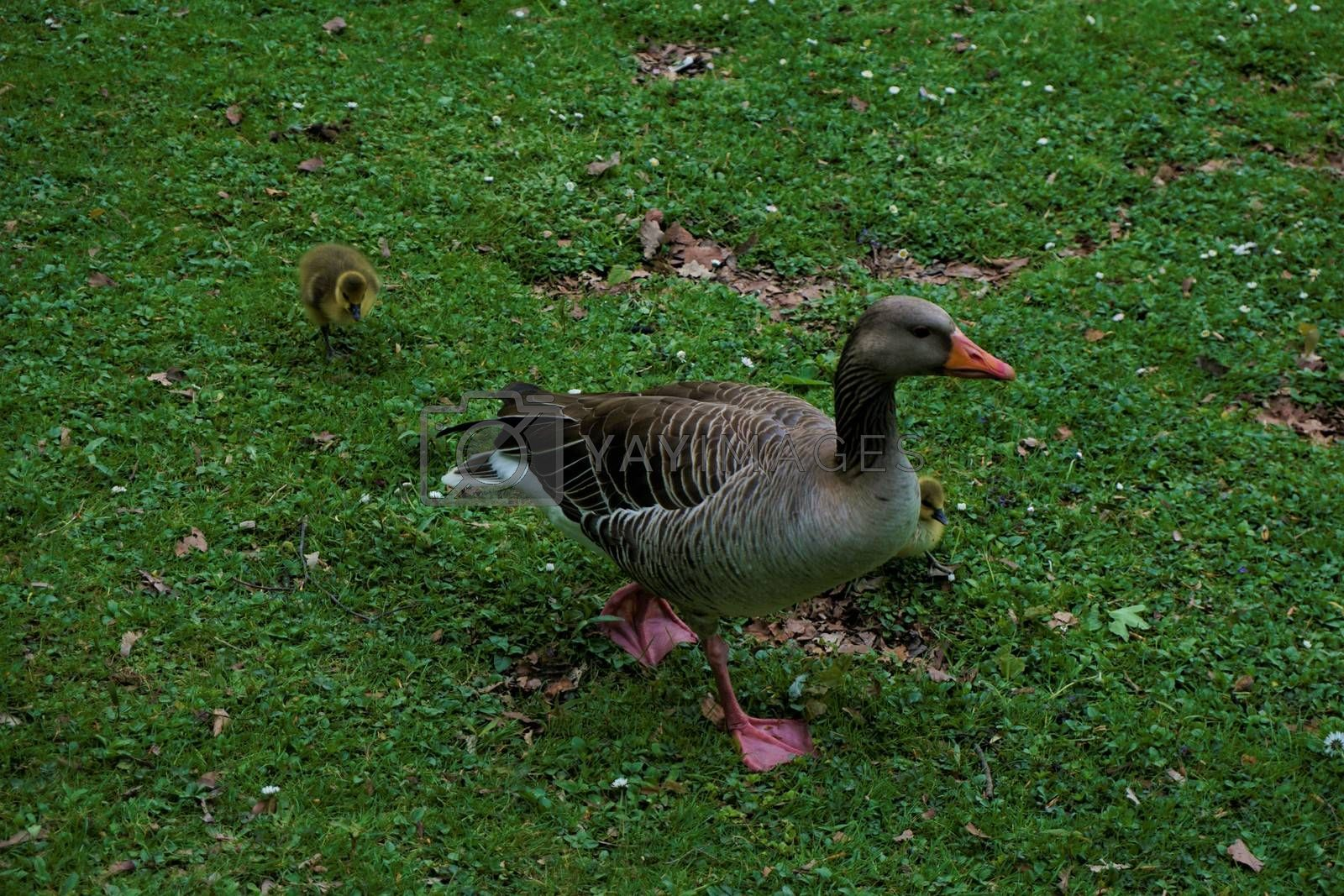 Greylag goose with a biddy on a meadow in Munich