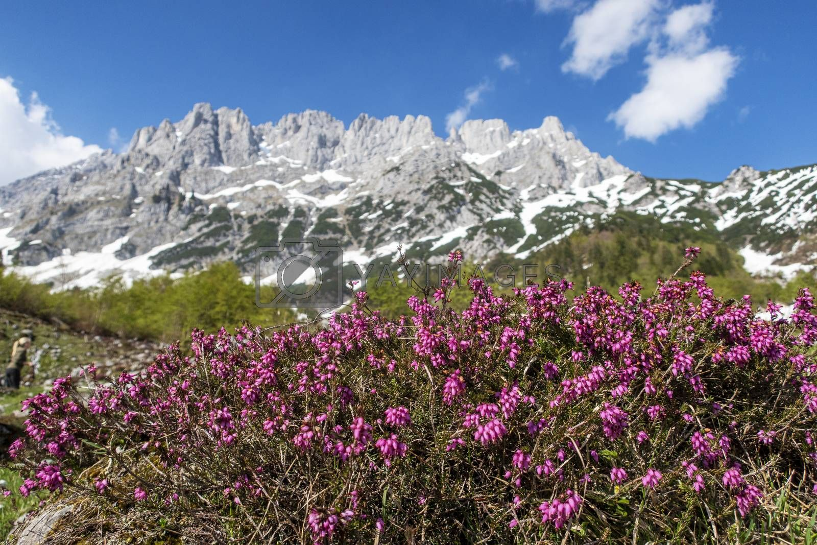 heather plant by bernjuer