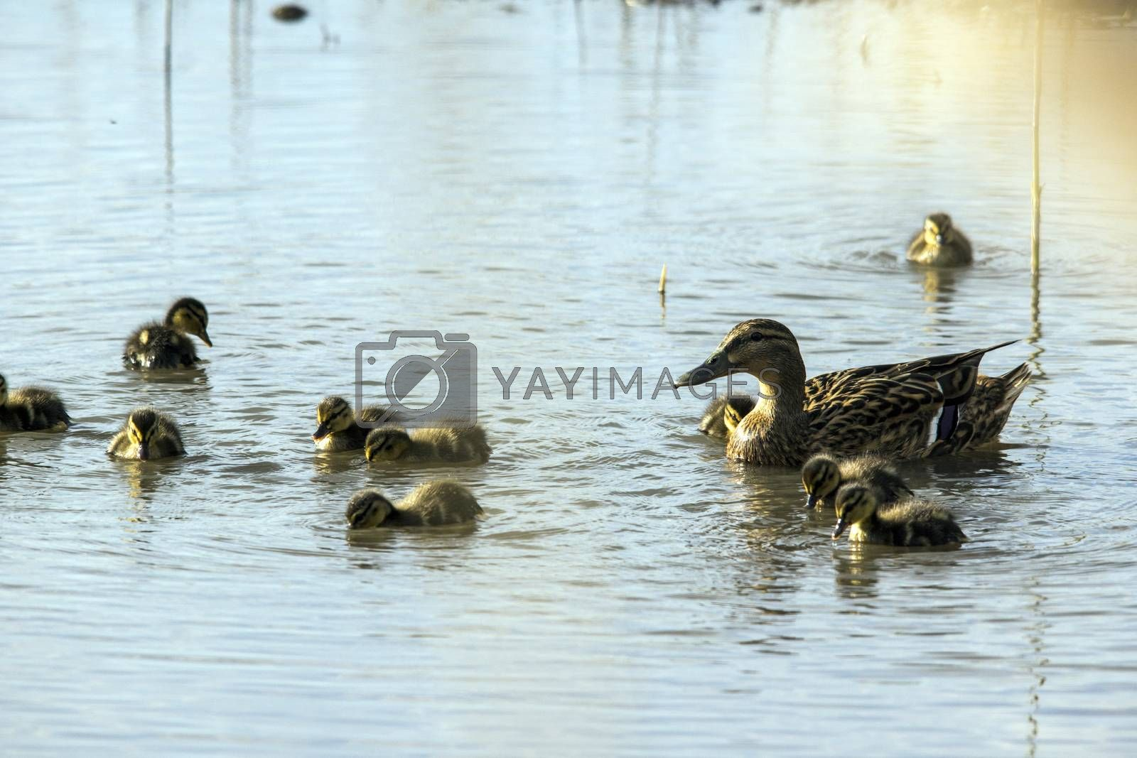 Wild duck (Anas platyrhynchos) family is swimming in the lake water.