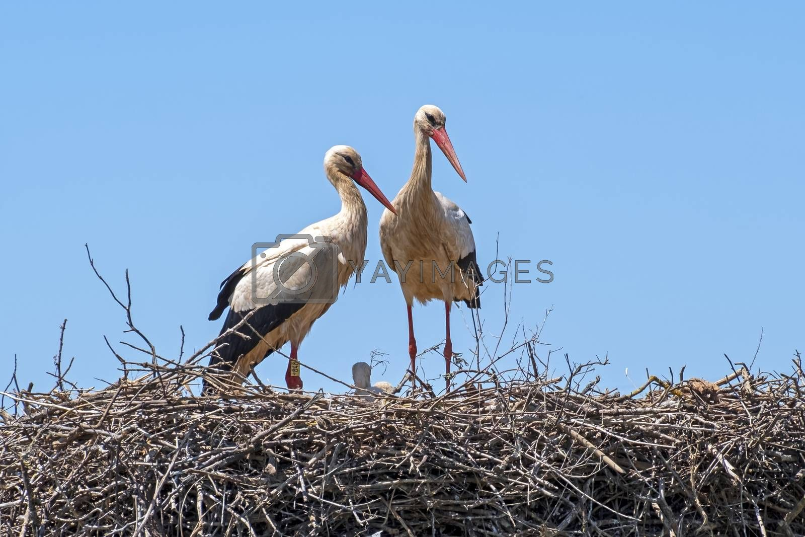 Storks with their babies on the nest in Portugal