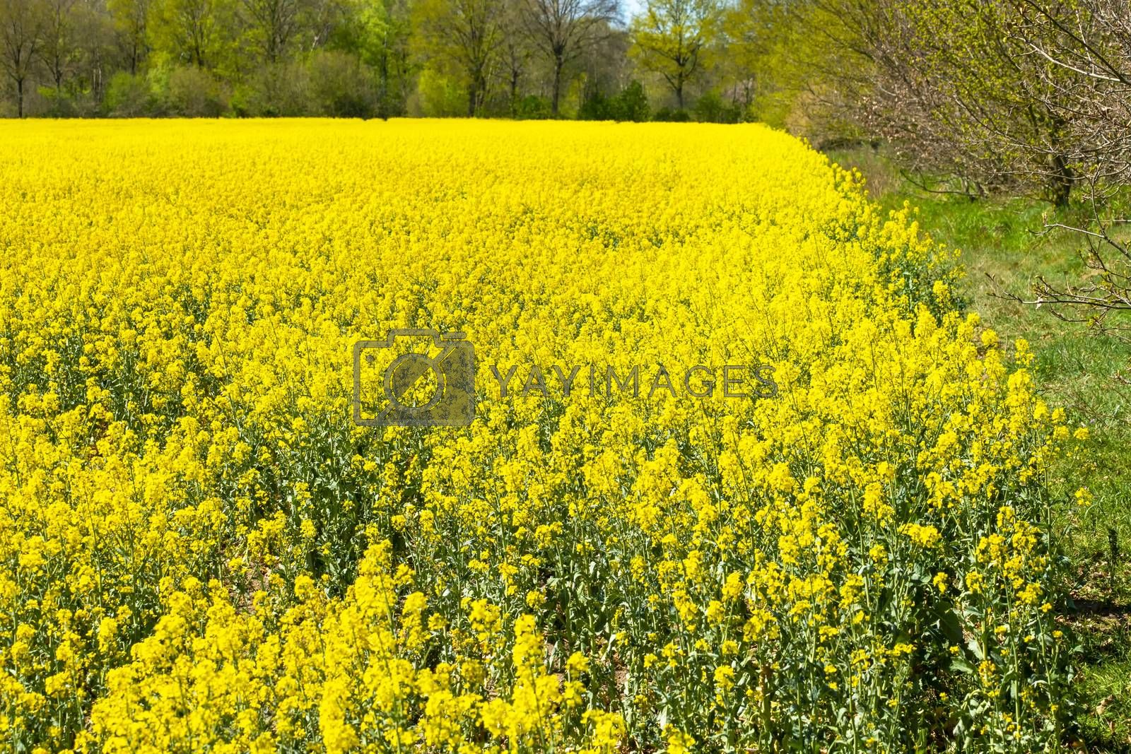 Royalty free image of Yellow blooming rape field in spring by Fr@nk