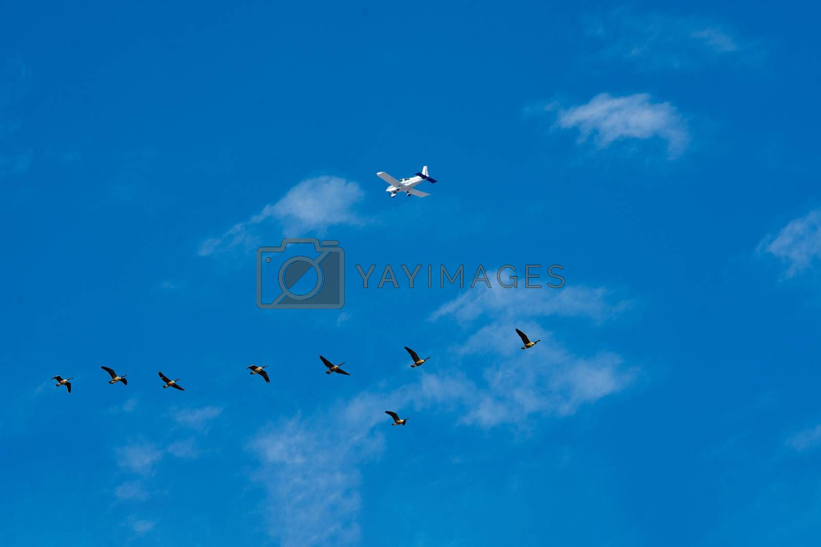 The plane flies over a flock of geese flying to the lakes