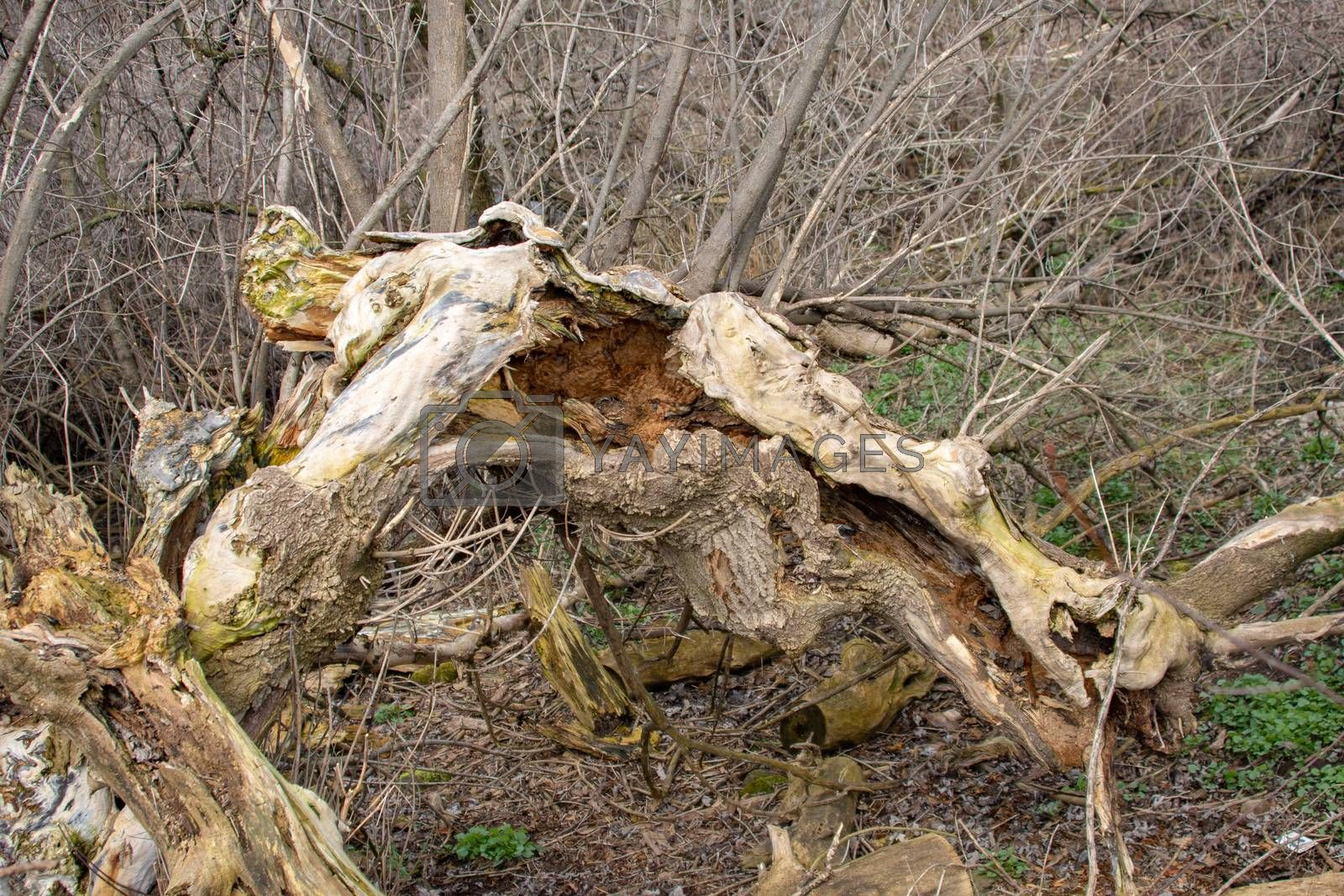 Sick trees, in the natural environment, rot or crumble into dust