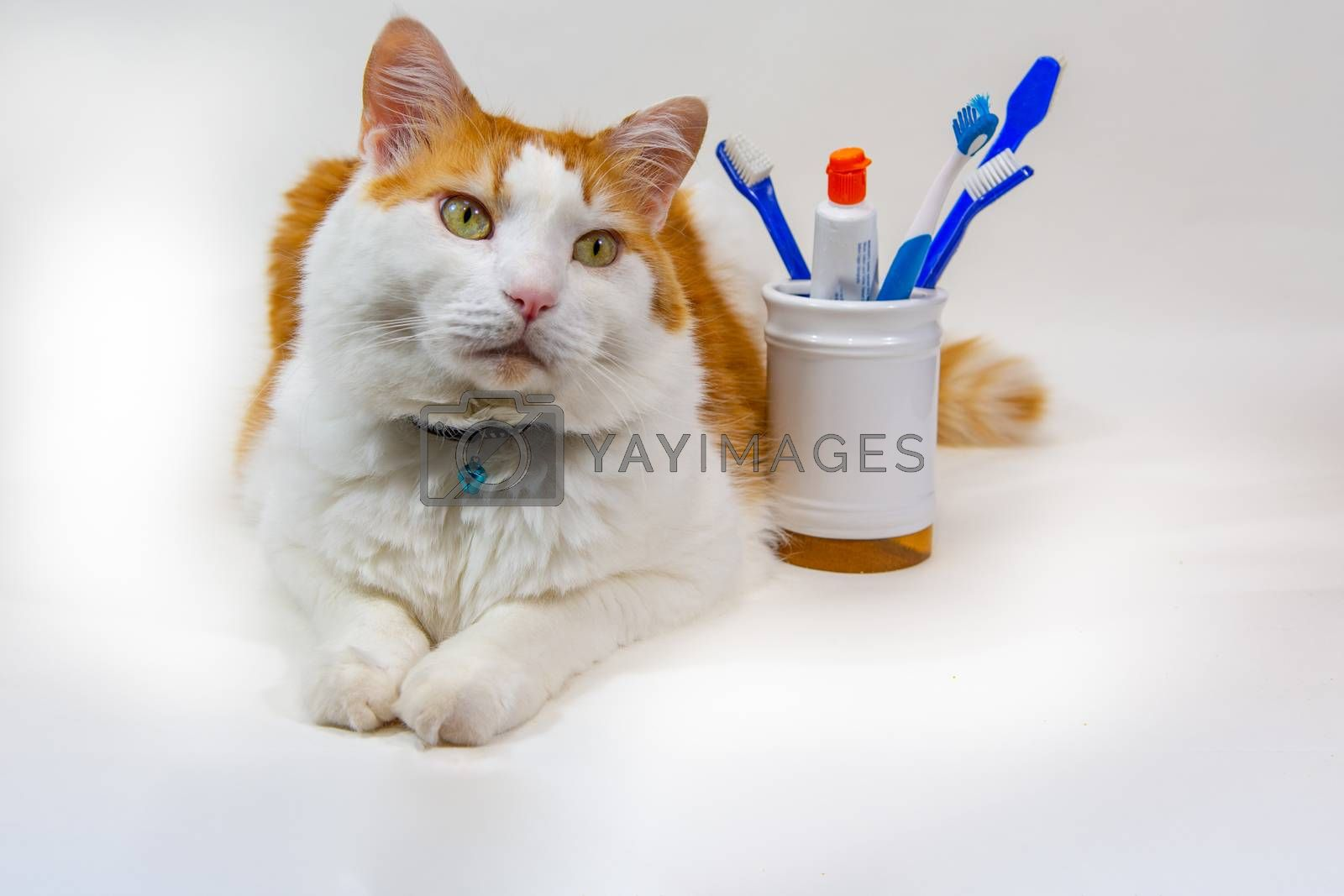 White-red cat against a white background and toothbrushes in a glass near