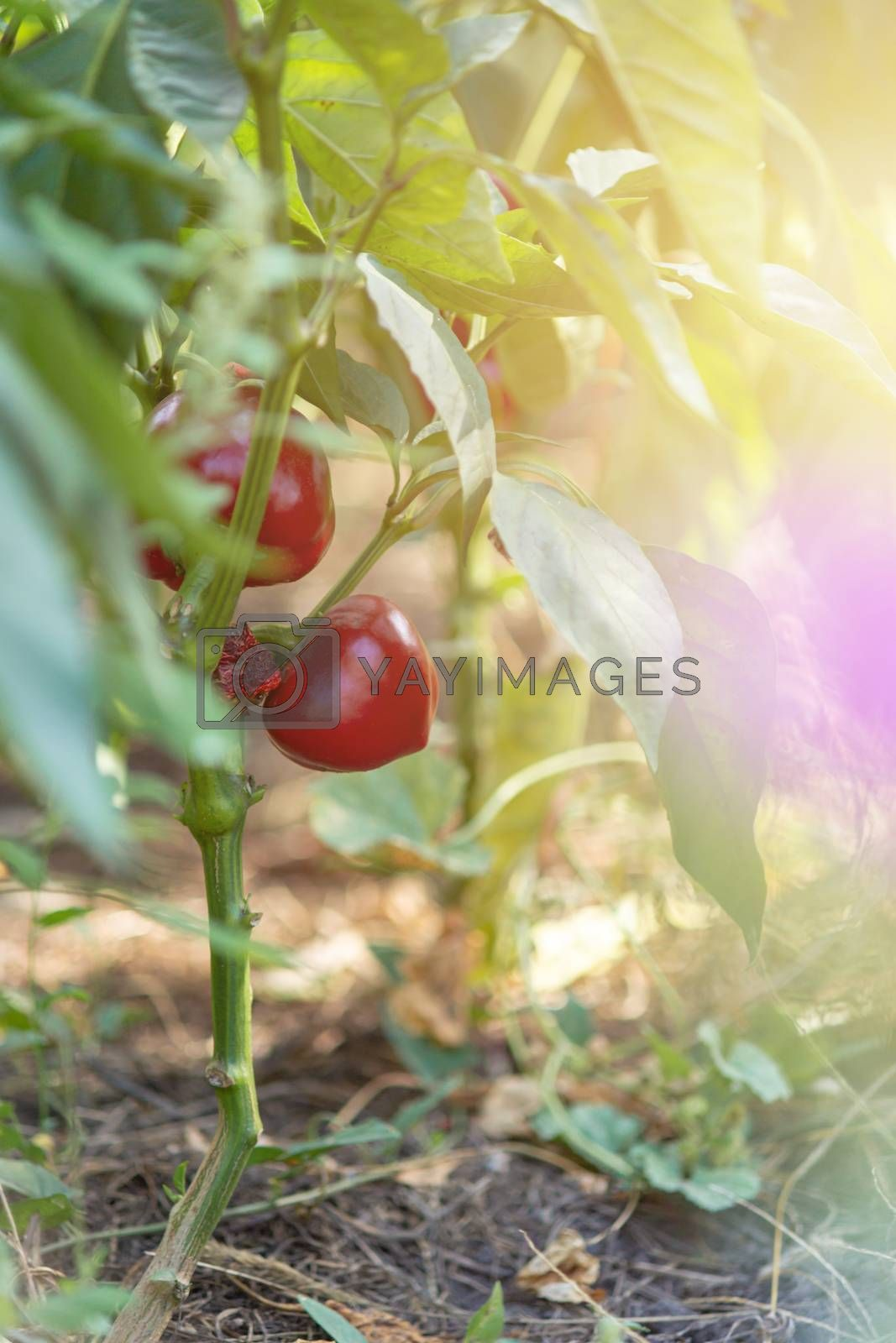 Sweet red pepper on a garden bed in village. Eco farming far from city. Natural vegetables.