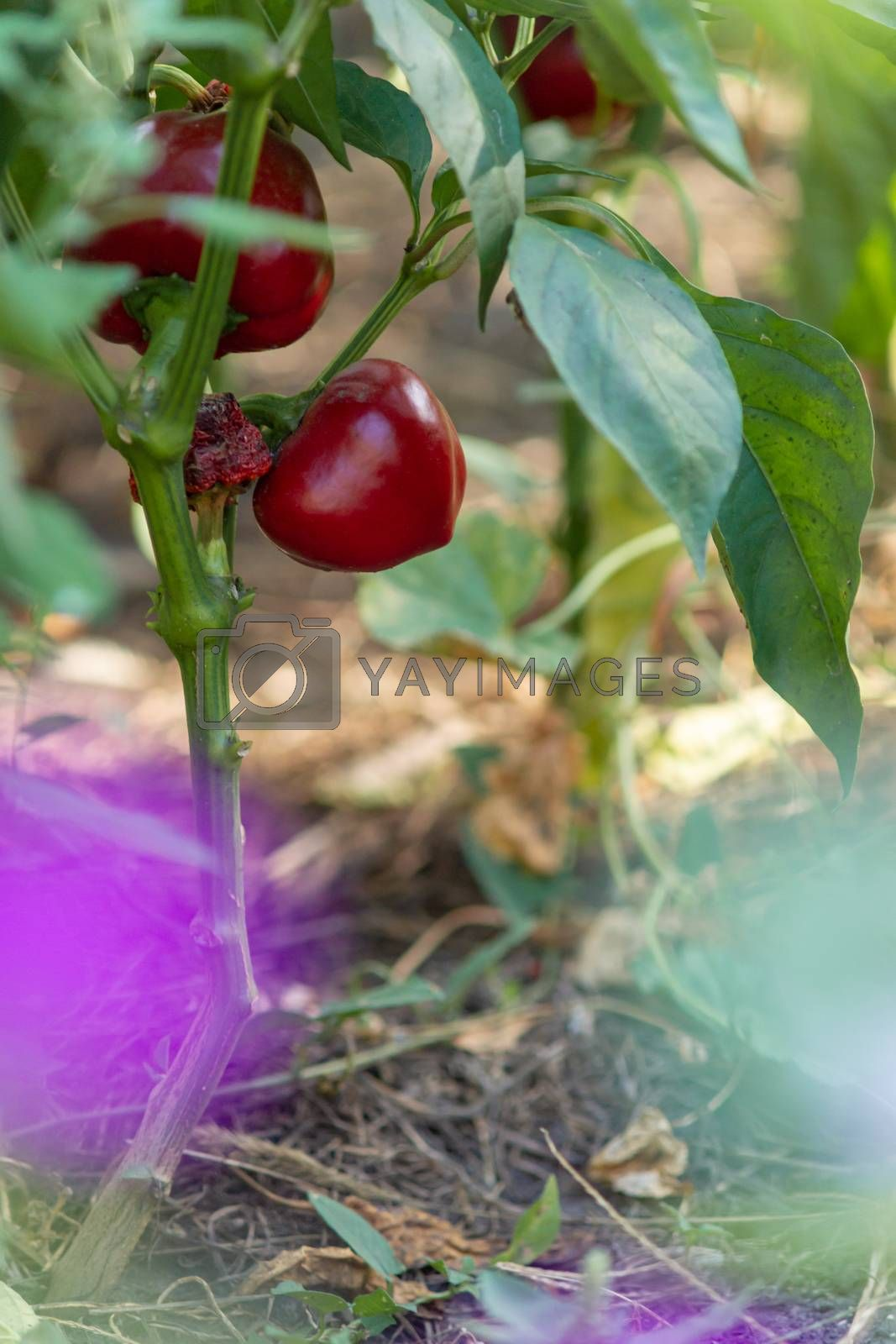 Sweet ripe red pepper on the garden bed in village. Eco farming far from city. Natural vegetables. Sunny day.