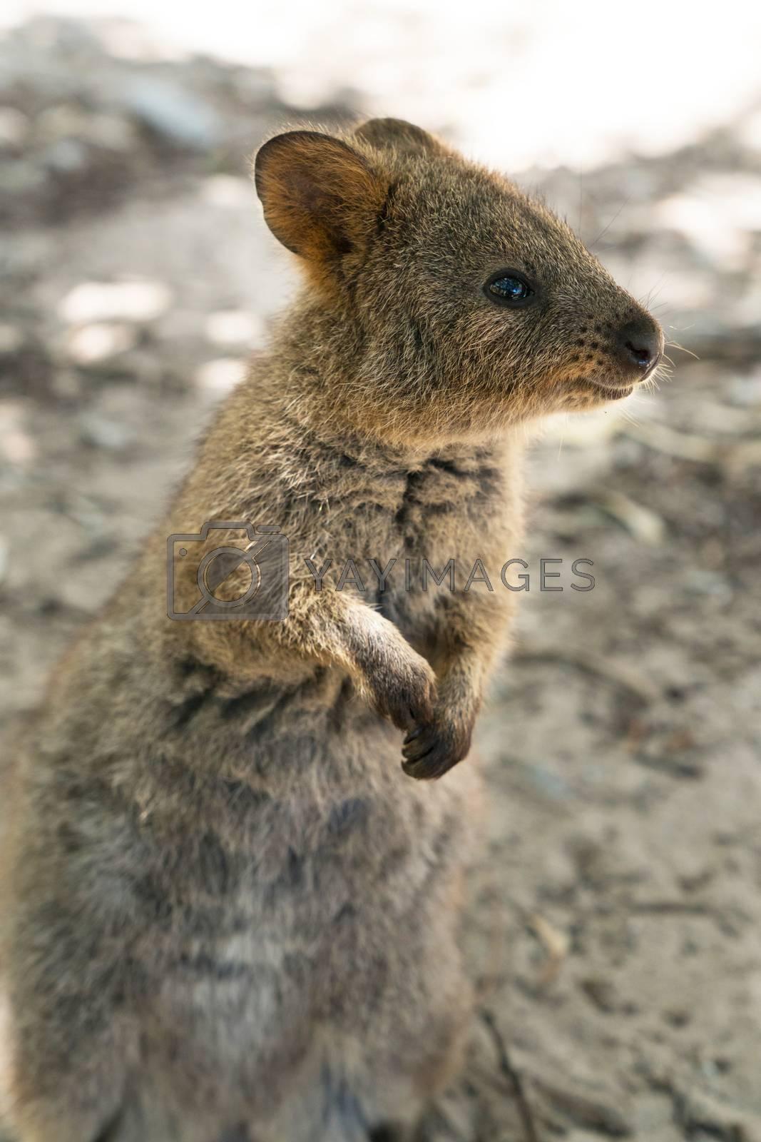 Quokka (Setonix brachyurus), image was taken on Rottnest Island, Western Australia