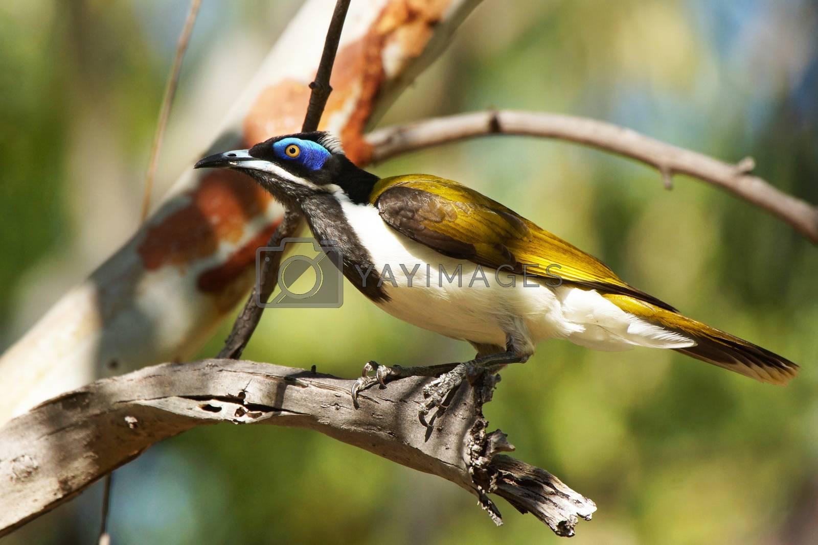 Blue-faced Honeyeater, Nitmiluk National Park, Australia