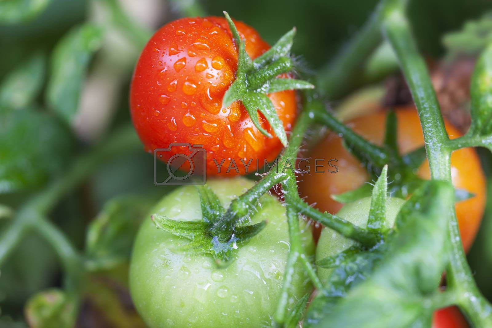 fresh tomatos on a plant by bernjuer