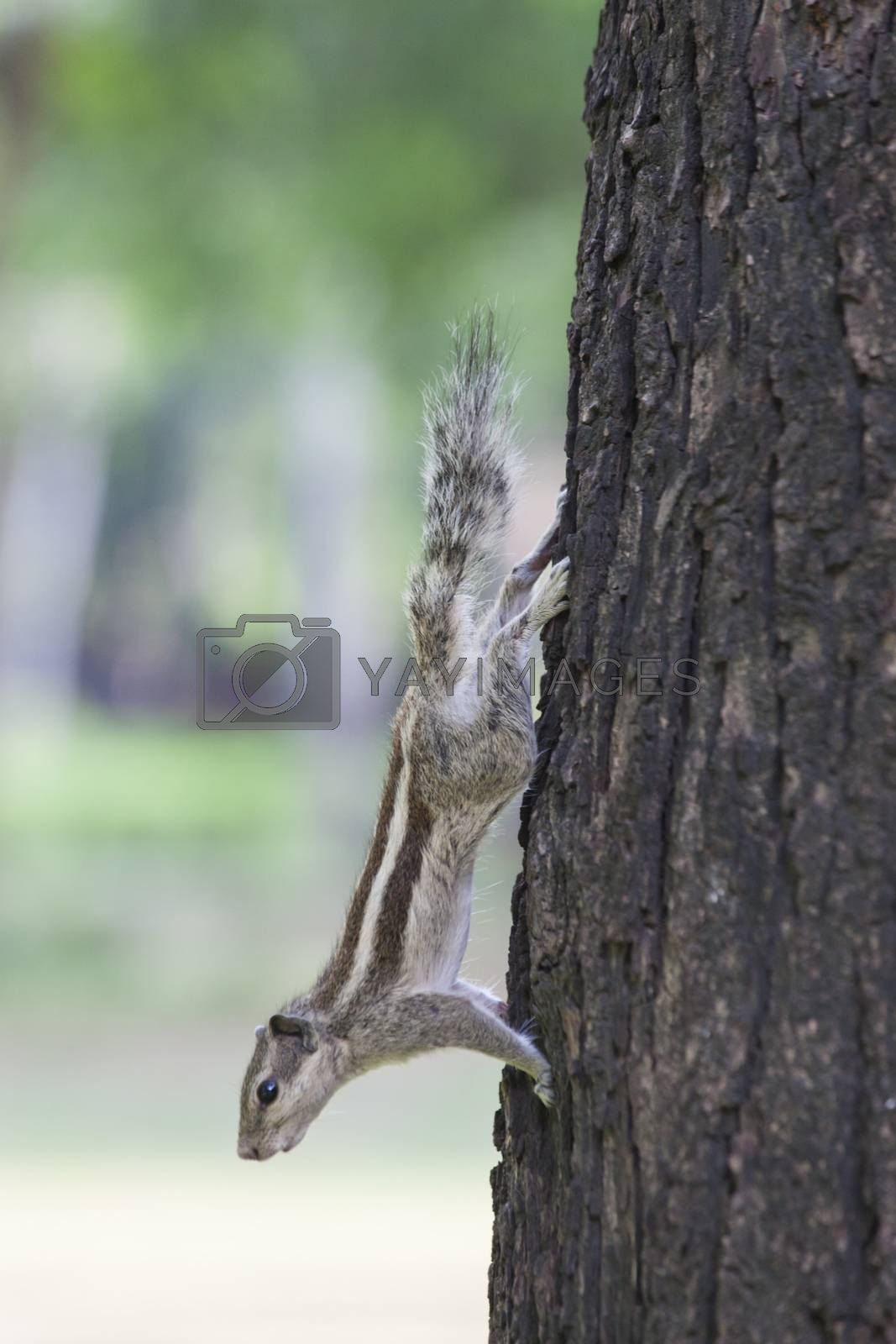 indian squirrel on a tree by bernjuer