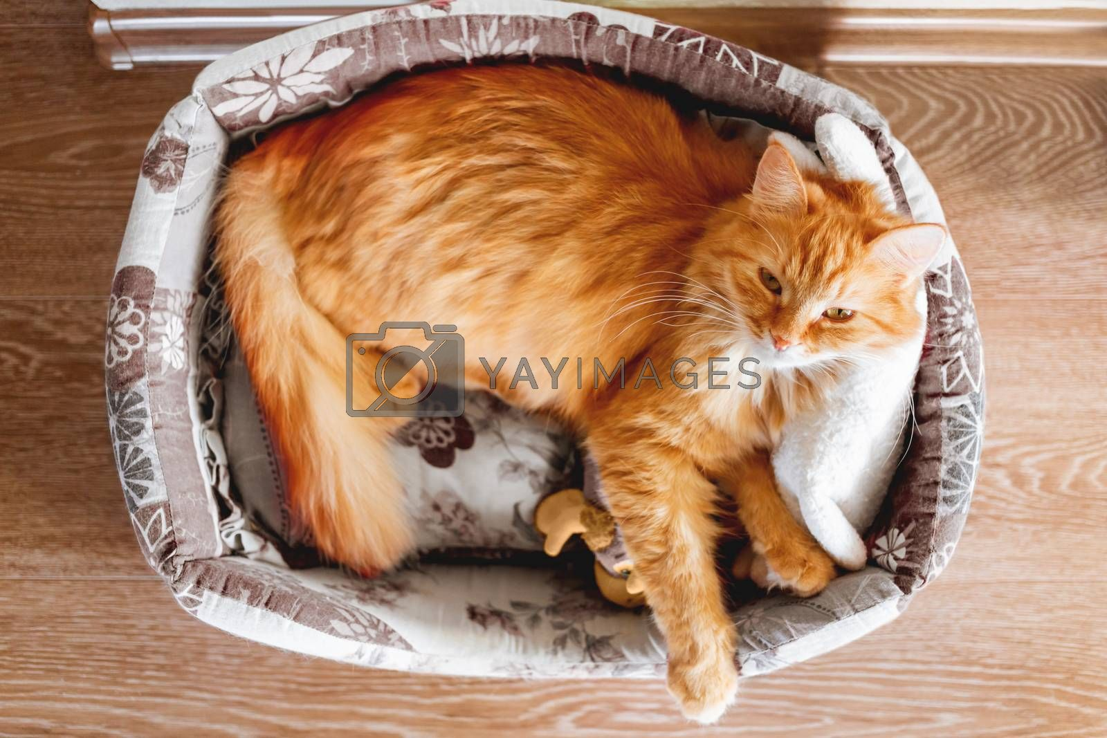 Top view on cute ginger cat sleeping in soft fabric basket with toy. Fluffy pet in cozy home. Domestic animal relaxes.