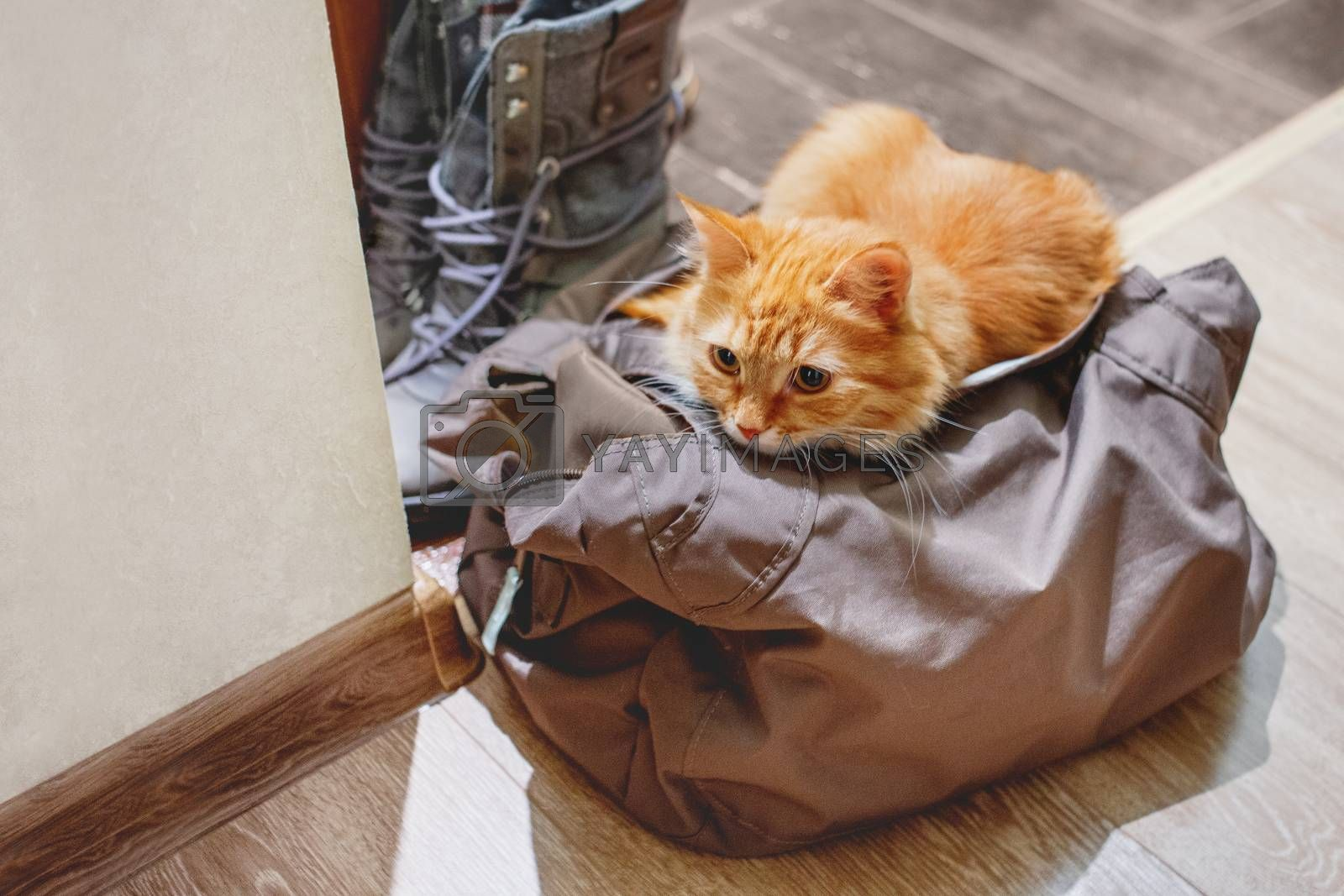 Cute ginger cat sits in bag. Fluffy pet climbed into the owner's gym bag in the hall.