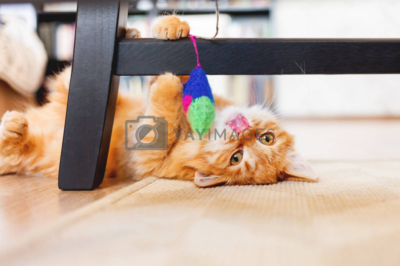 Cute ginger kitten plays with toy mouse on rope. Fluffy pet lies on carpet under black wooden chair. Domestic playful animal in cozy home.