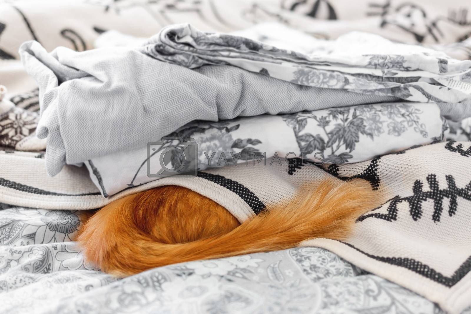 Cute ginger cat hides in bed. Fluffy pet sleeps under blanket, only furry tail is visible. Cozy morning bedtime in cozy home.